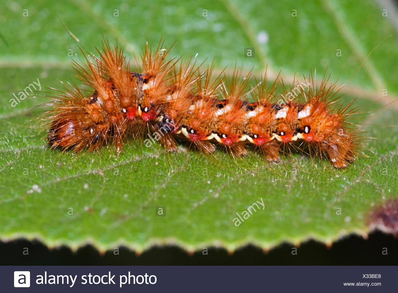 knot grass (Acronicta rumicis, Apatele rumicis), caterpillar on a leaf, Germany - Stock Image