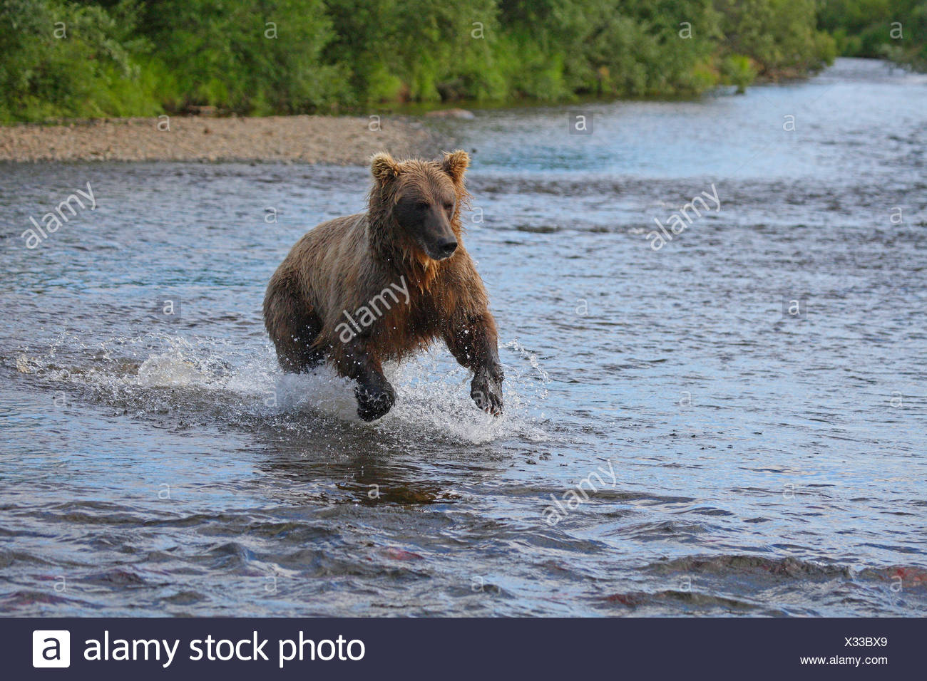 brown bear, grizzly bear (Ursus arctos horribilis), catching salmon in the shallow water of a river, USA, Alaska - Stock Image