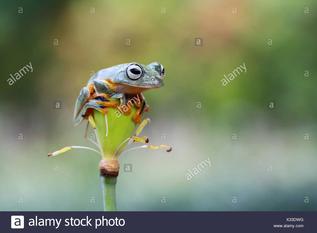 Javan tree frog on a flower, Indonesia - Stock Image