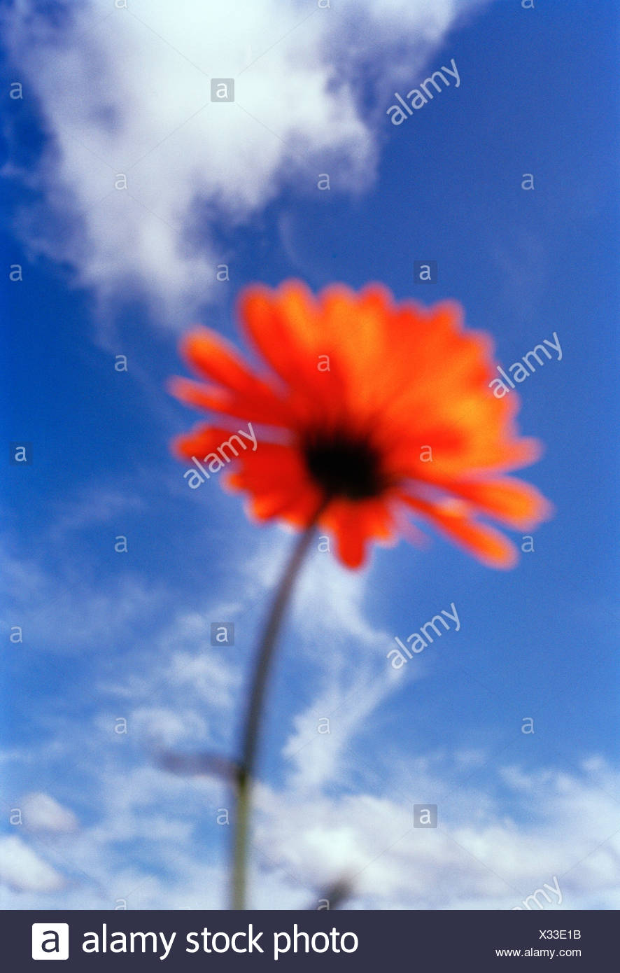 A red flower and a blue sky, Sweden. - Stock Image