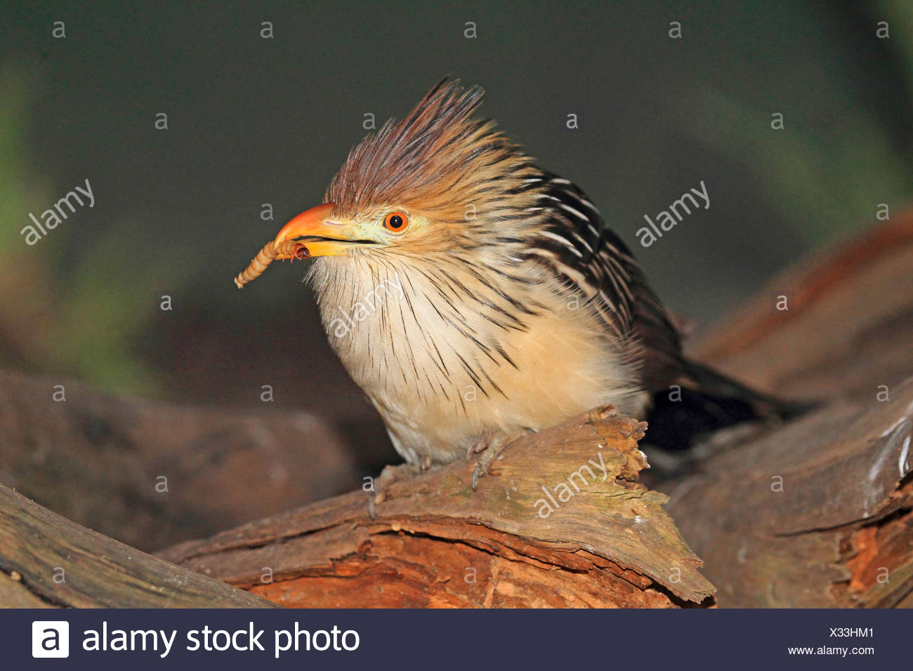 guira cuckoo (Guira guira), with larva in its bill - Stock Image