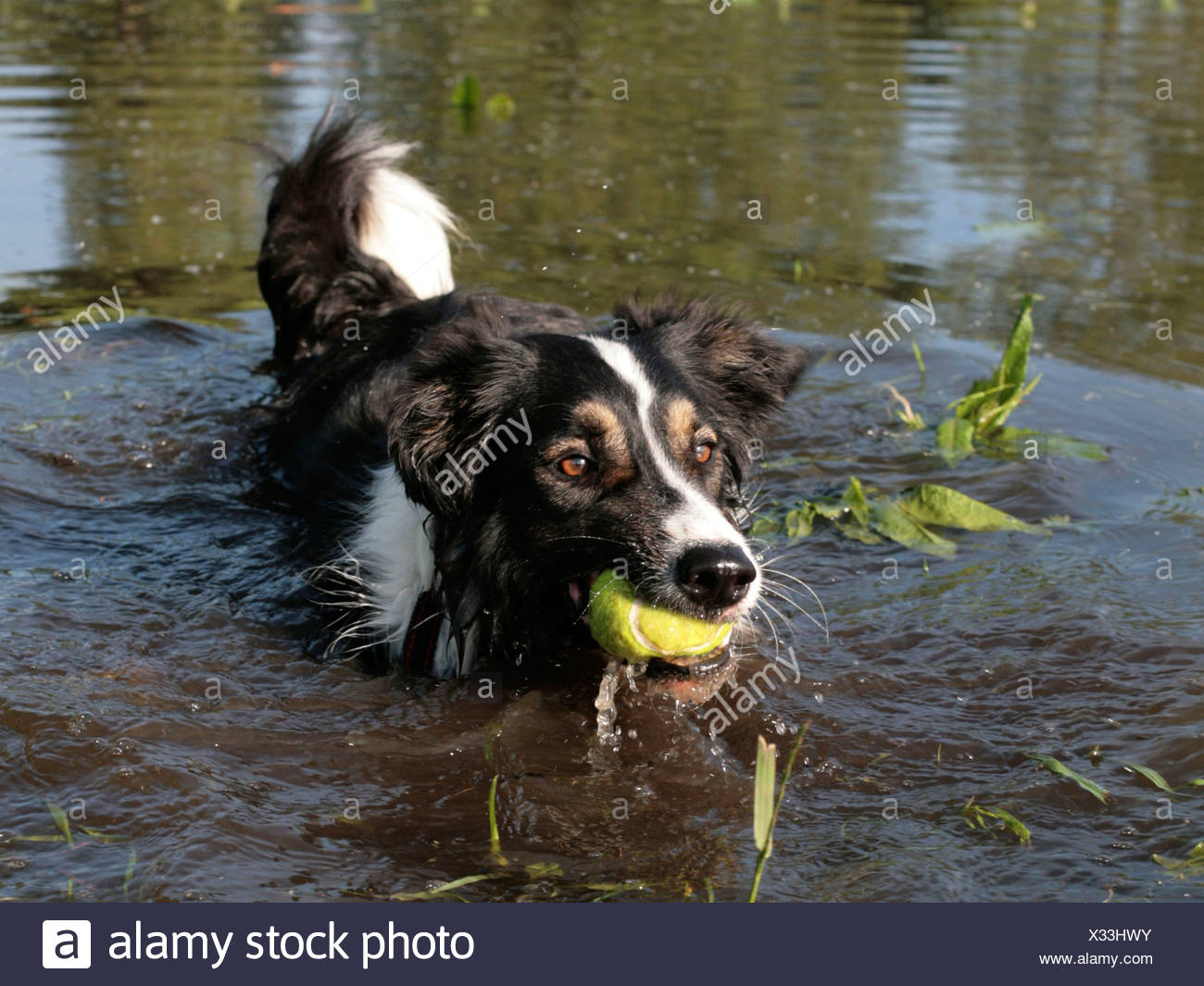 A collie in the water holding a ball in its mouth. Stock Photo
