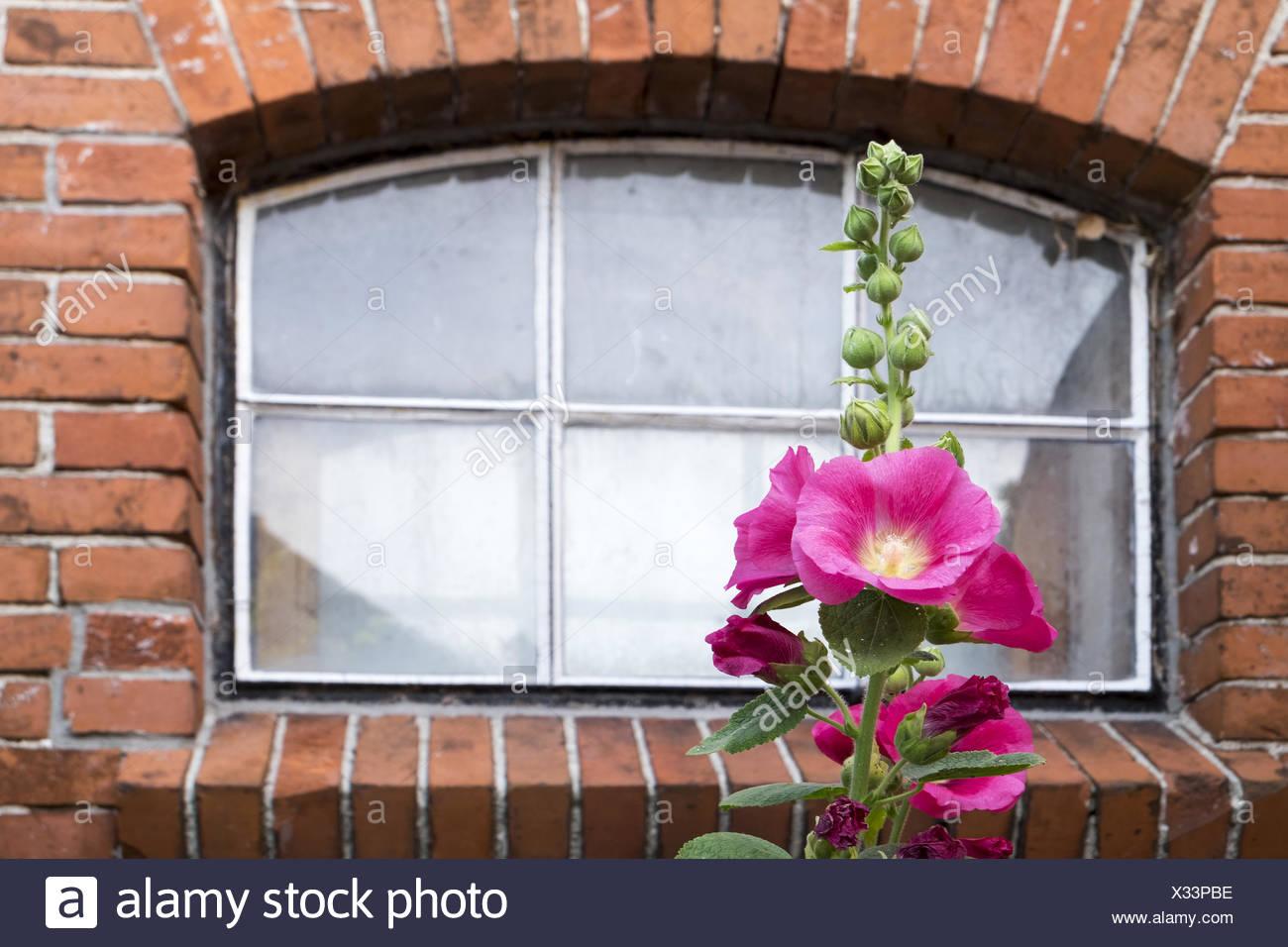 Alcea rosea Stock Photo