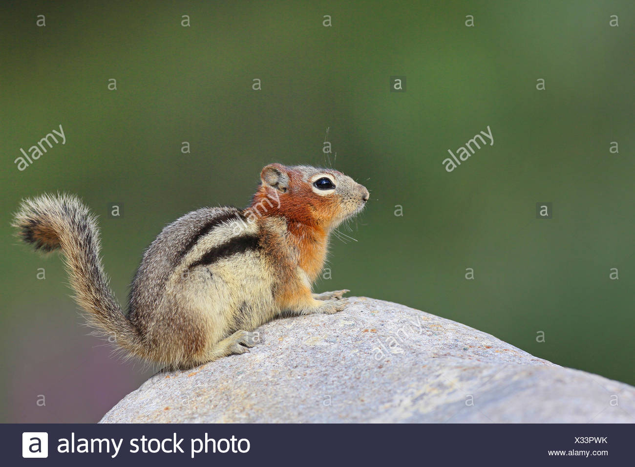golden-mantled ground squirrel (Spermophilus lateralis, Citellus lateralis, Callospermophilus lateralis), sits ona rock, Cananda, Banff National Park - Stock Image
