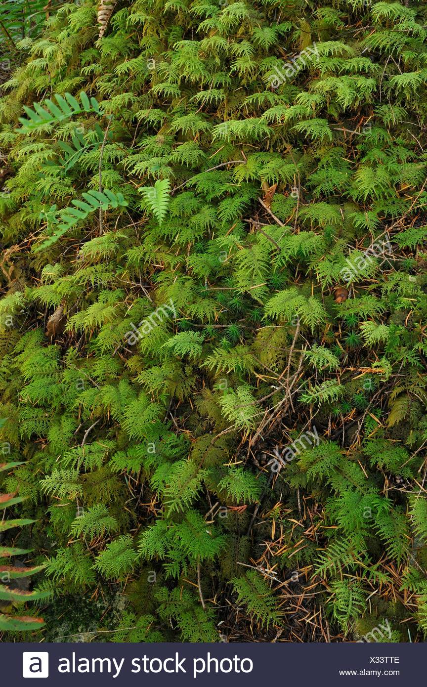 Menzies´ Tree Moss, Leucolepsis acanthoneuron, on rock beside Surge Narrows Trail, Quadra Island, British Columbia, Canada - Stock Image