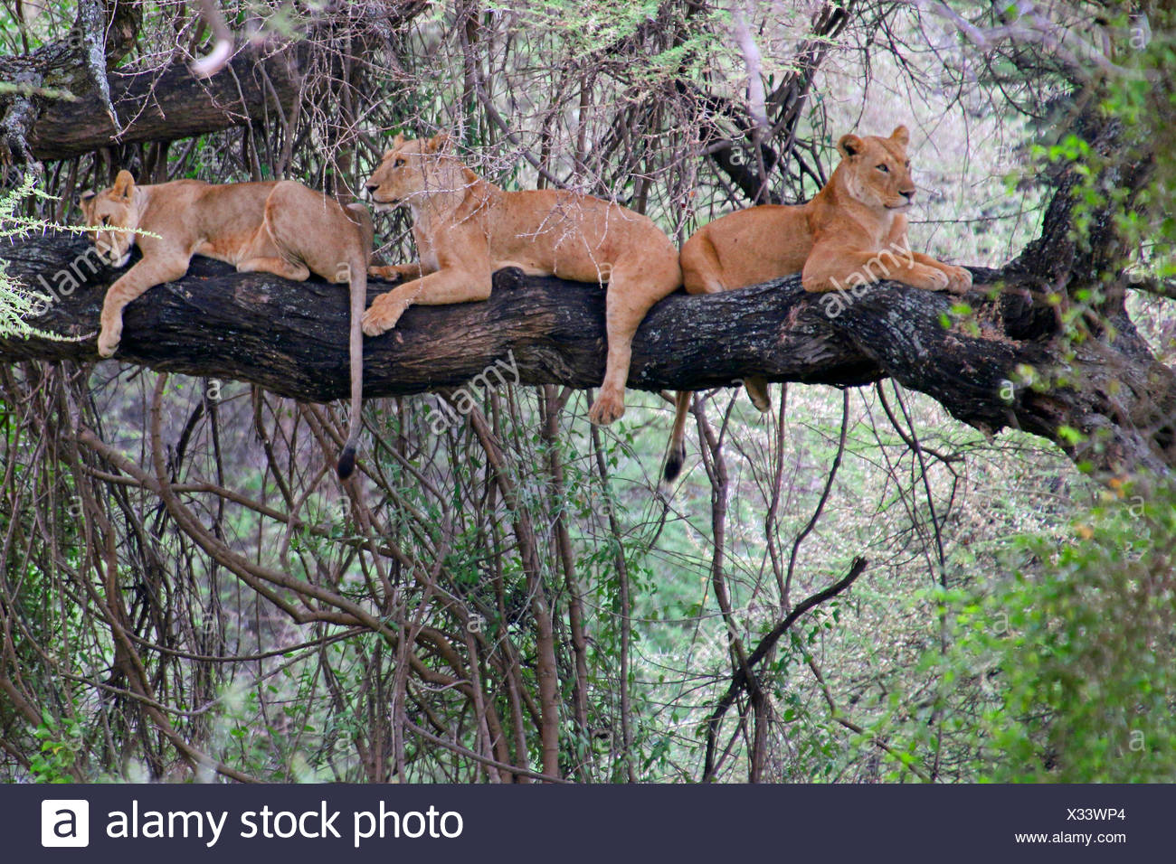 lion (Panthera leo), three lions lying together on a tree, Tanzania, Lake Manyara National Park - Stock Image
