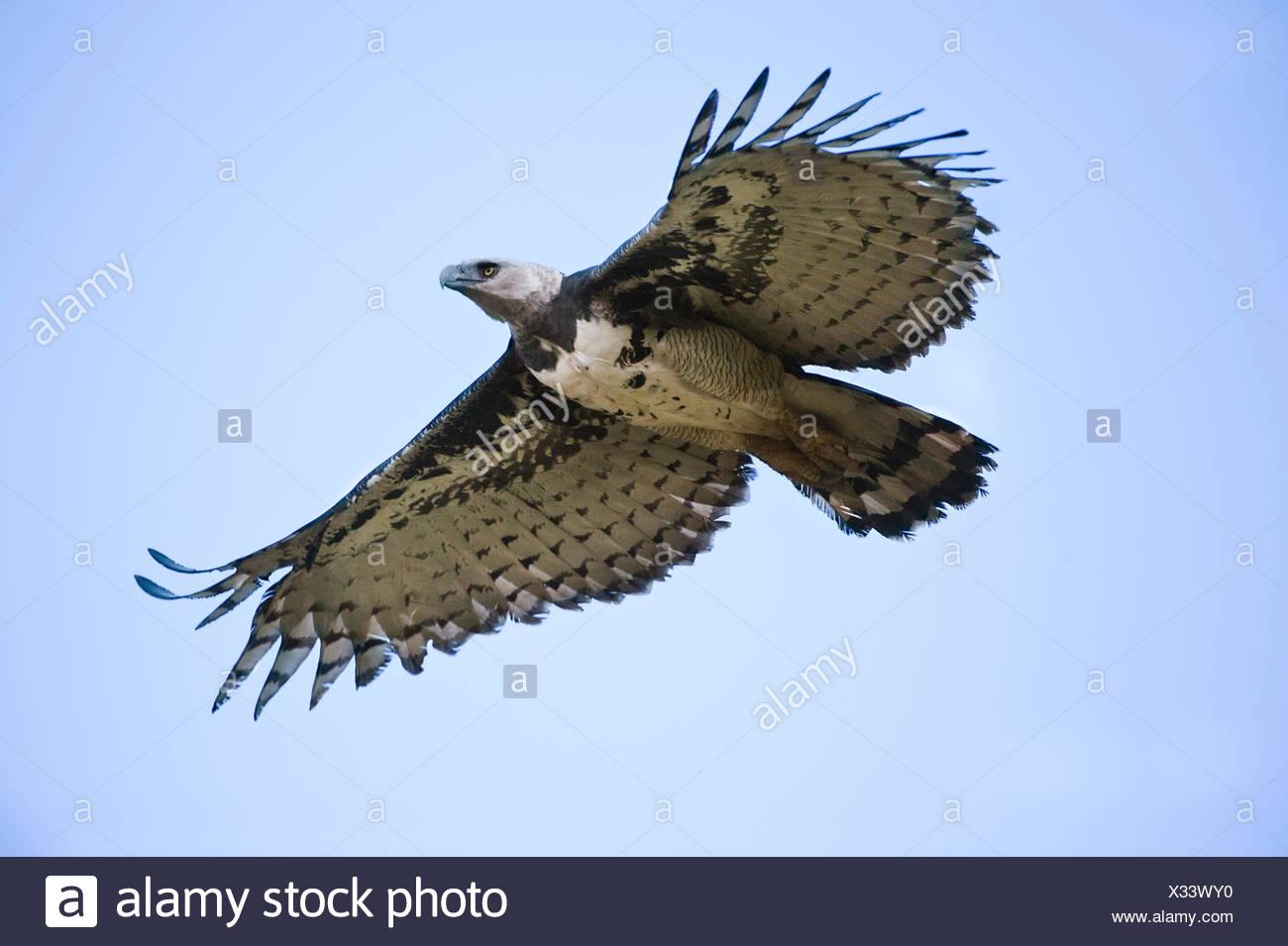 american harpy eagle stock photos american harpy eagle stock