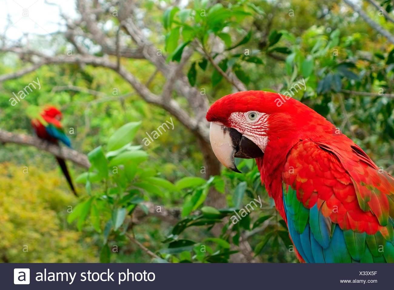 Red-and-green macaw (Ara chloroptera), Buraco das Araras, Jardim, Matto Grosso do Sul, Brazil - Stock Image