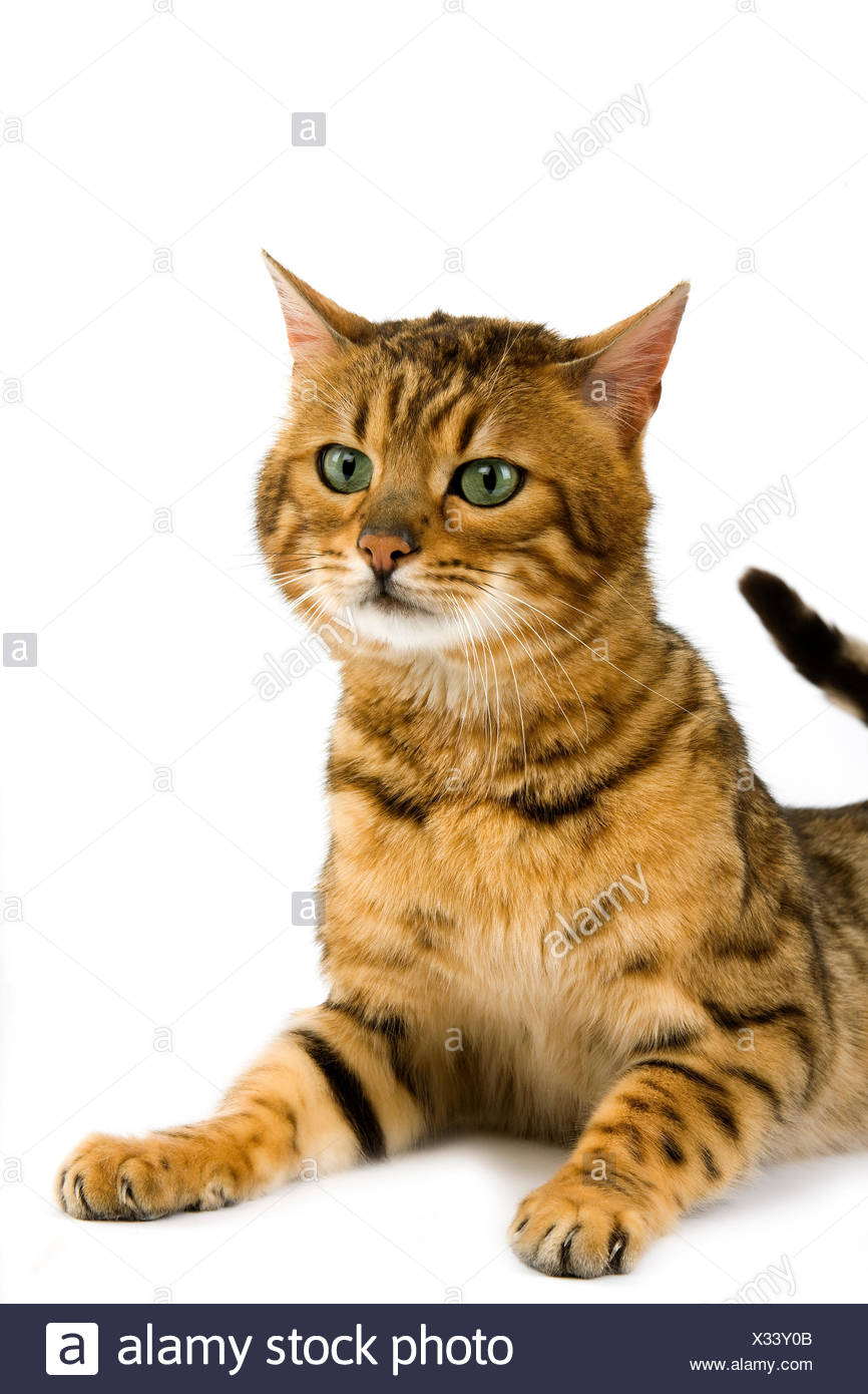 Brown Spotted Tabby Bengal Domestic Cat Against White Background