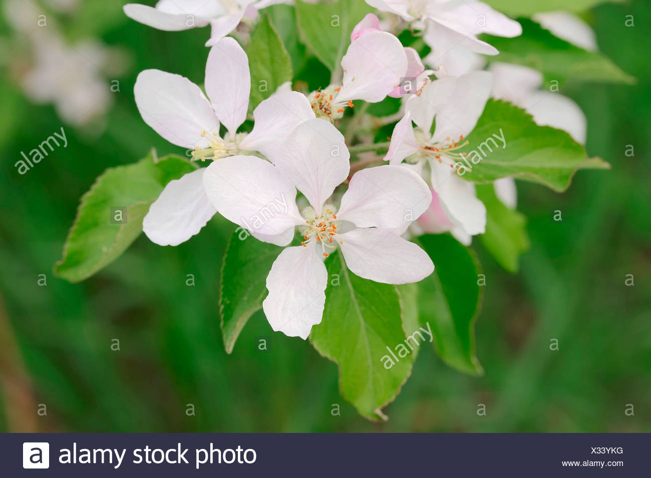 Armenian Plum or Siberian Apricot (Prunus armeniaca), flower, Provence, Southern France, France - Stock Image