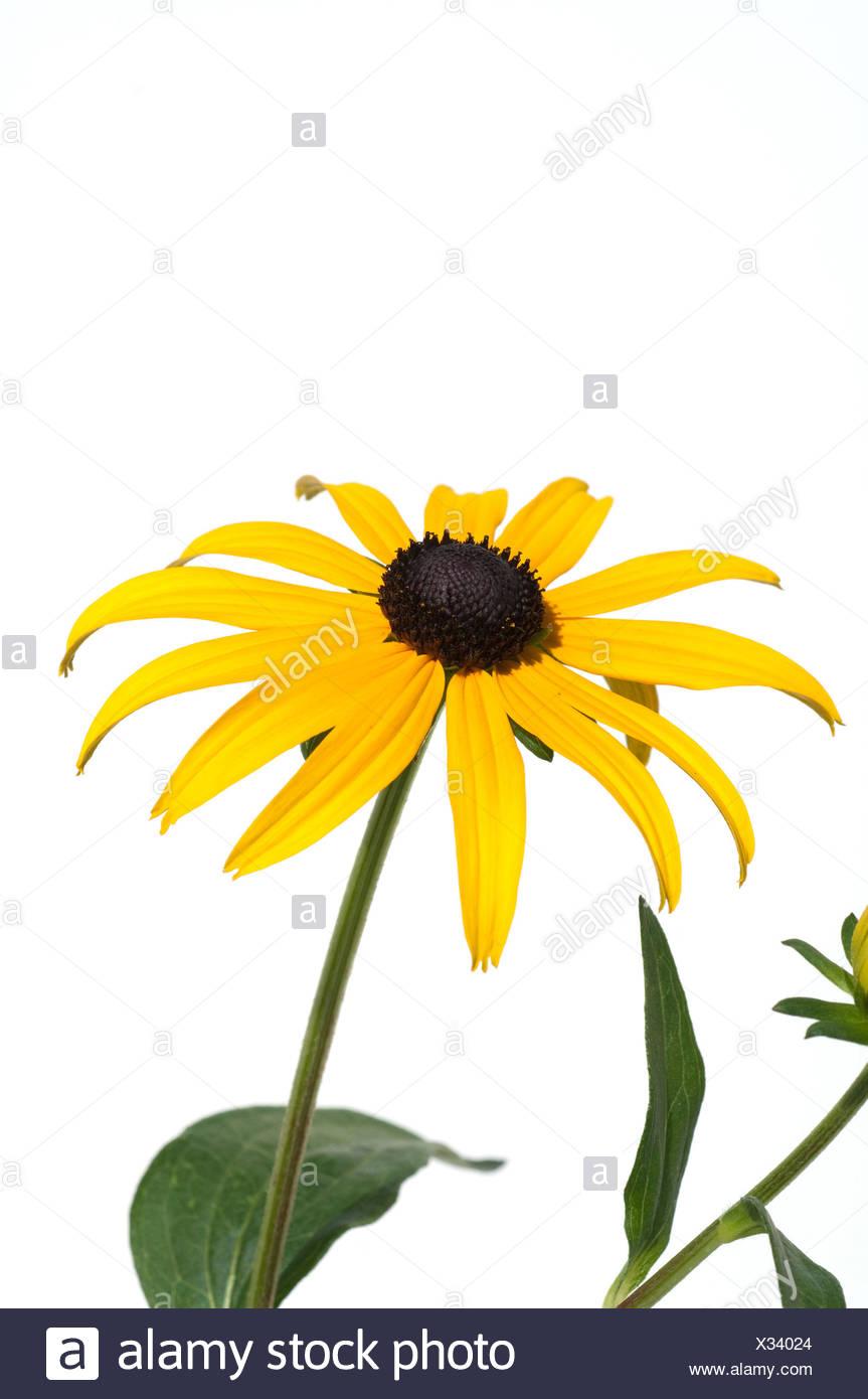 Sonnenhut; Rudbeckia hirta - Stock Image
