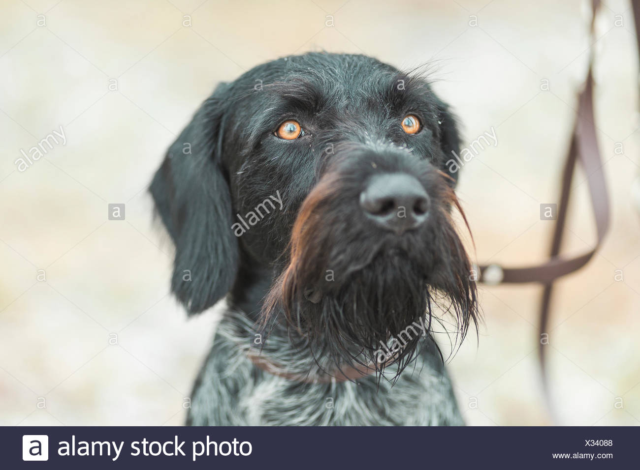 Portrait of German Wirehaired Pointer Stock Photo: 277297896 - Alamy