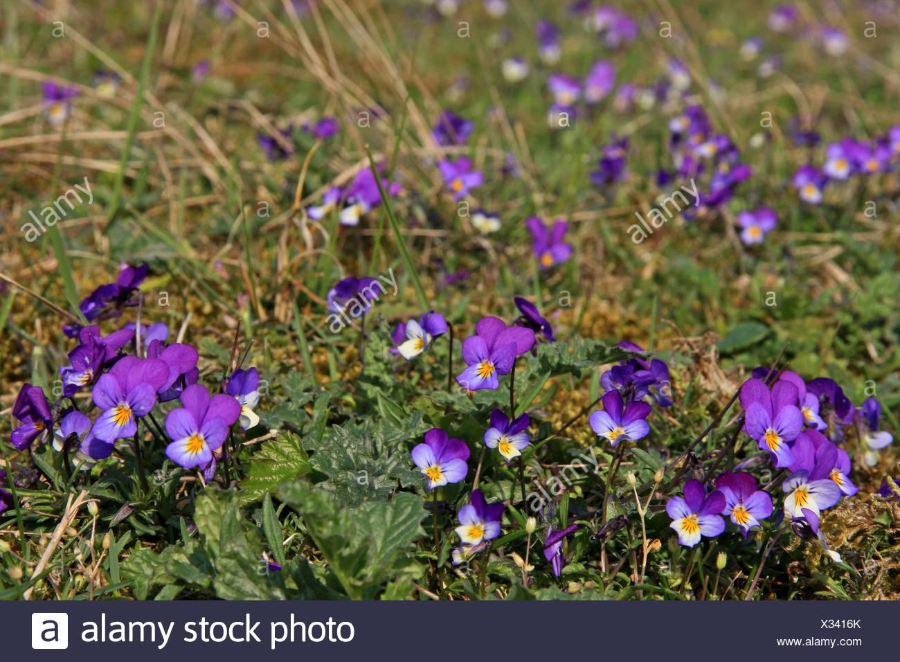 groep bloeiende exemplaren in duingrasland Stock Photo
