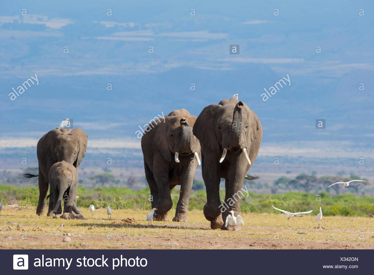 African Elephant (Loxodonta africana) Family group at Amboseli National Park Kenya - Stock Image