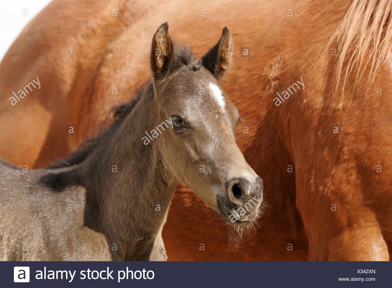 Quarter Horse Foal Stock Photo