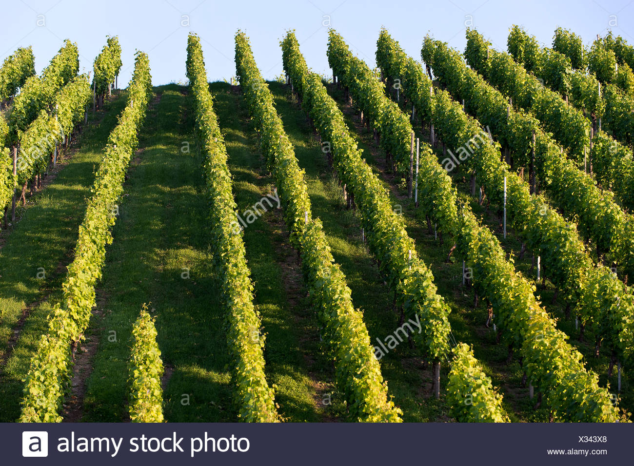 Grape vines, vineyard, Pragsattel, Stuttgart, Baden-Wuerttemberg - Stock Image