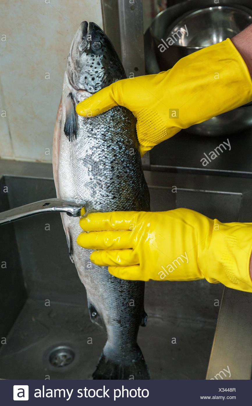 cleaning salmon fish - Stock Image