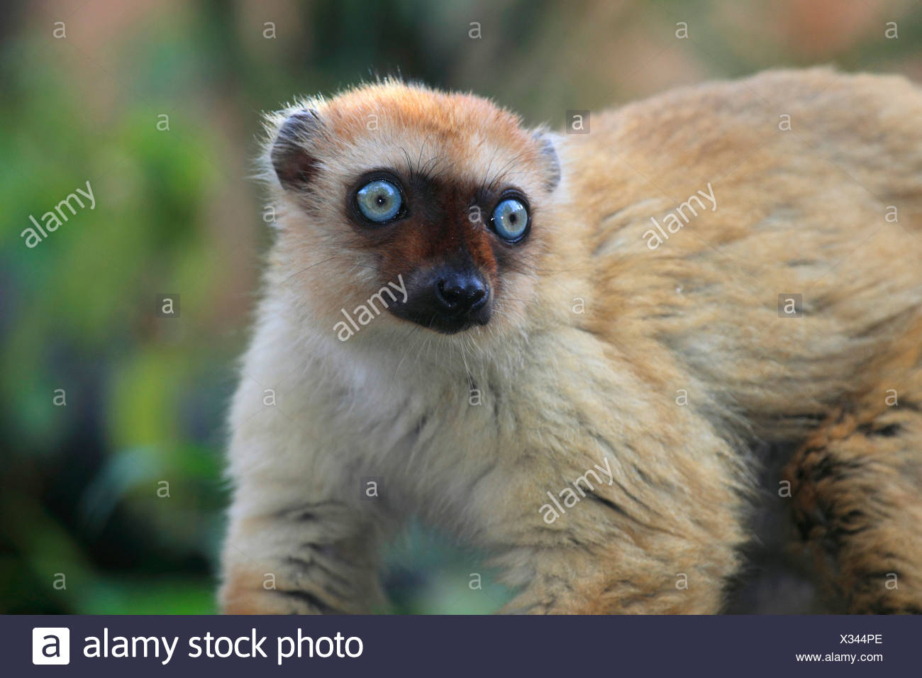 Sclater's Maki, Blue-eyed Lemur (Eulemur flavifrons, Eulemur macaco flavifrons, Lemur macaco flavifrons), closeup - Stock Image