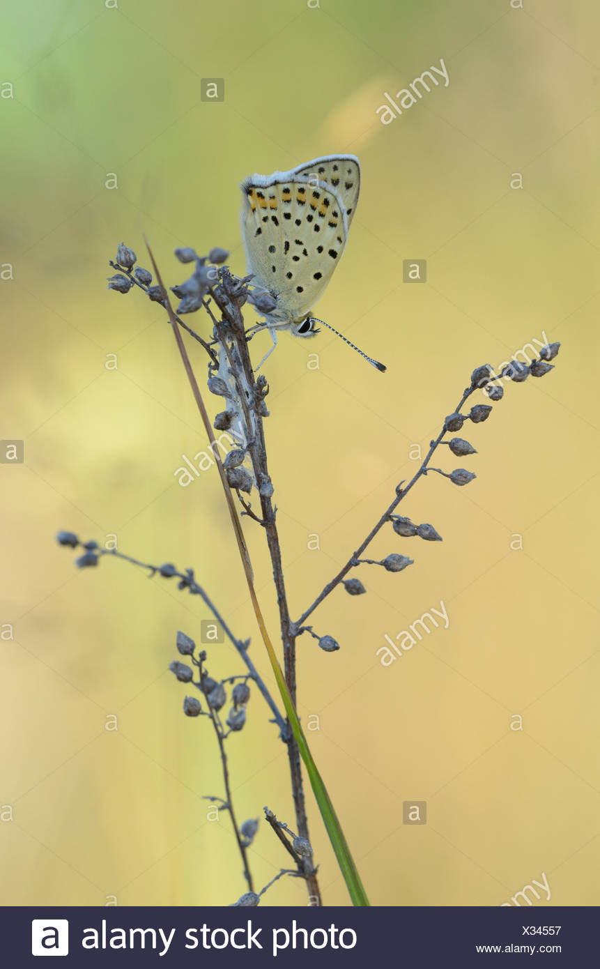 Sooty Copper (Lycaena tityrus) - Stock Image