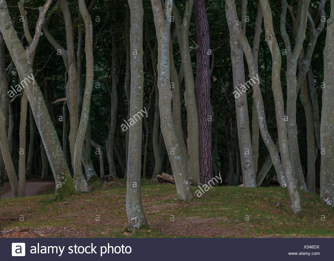 Beech forest with a solitary conifer, Darss Forest, mystical moody lighting, Prerow, Fischland-Darß-Zingst - Stock Image