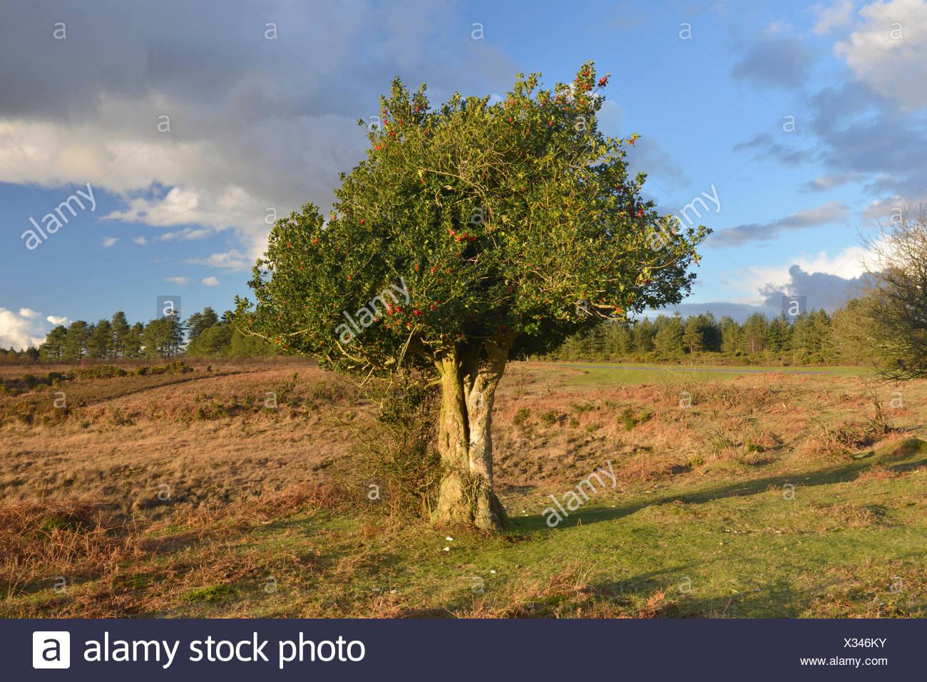 Holly Ilex aquifolium Aquifoliaceae - Stock Image