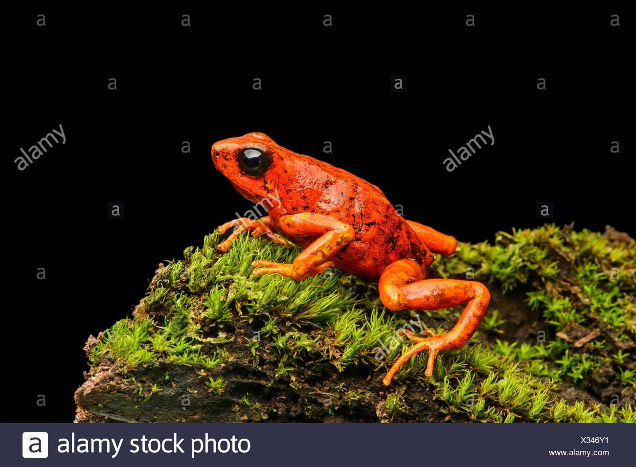 Little-devil poison frog or diablito (Oophaga sylvatica) on moss, Chocó rainforest, Ecuador - Stock Image