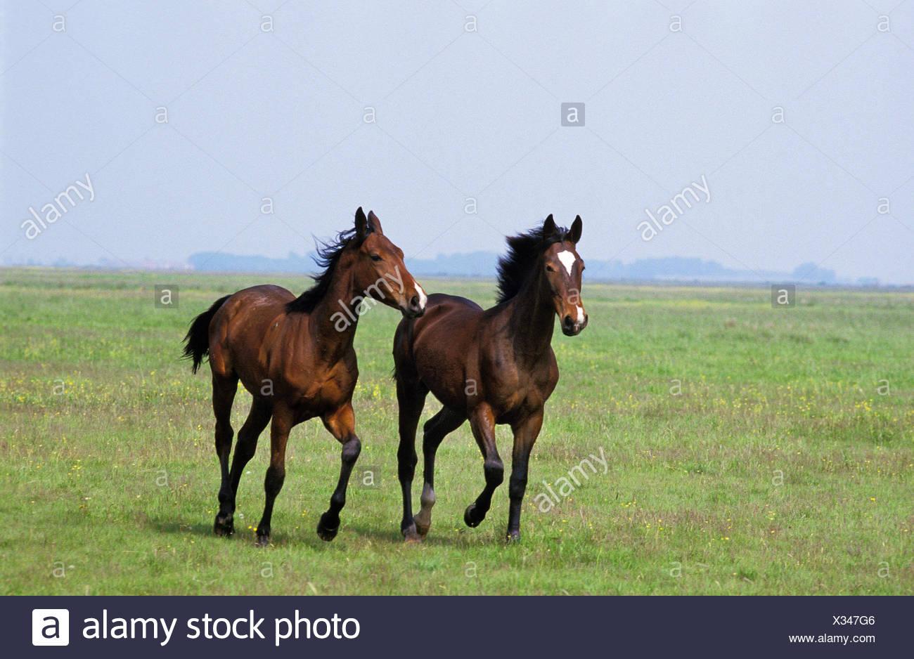 Vernier horses in Puszta, Hungary, - Stock Image