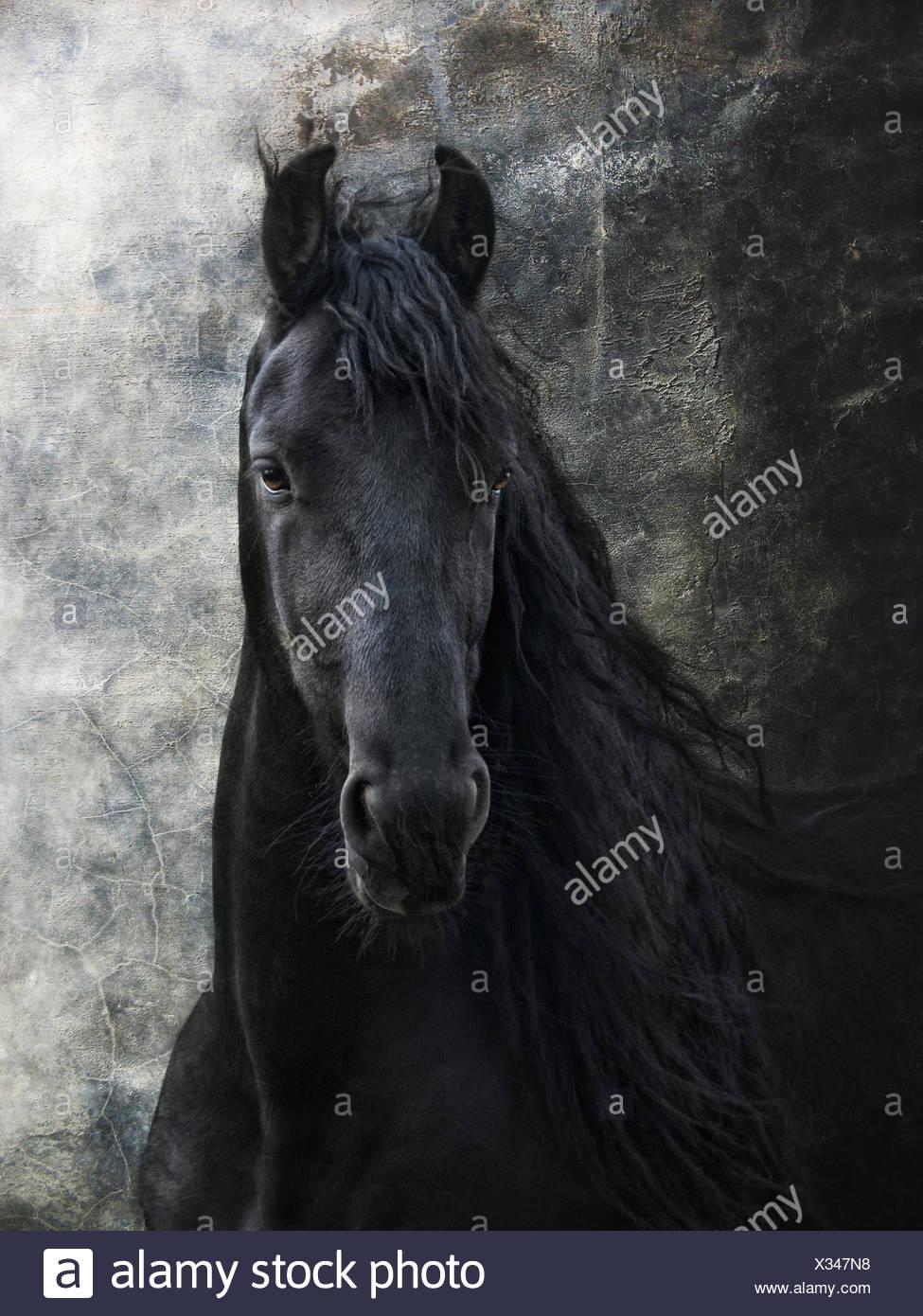 young frisian stallion - Stock Image