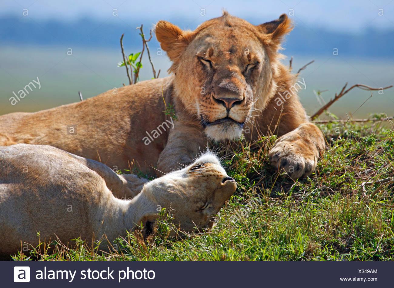 lion (Panthera leo), two dozing lions, Kenya, Masai Mara National Park - Stock Image