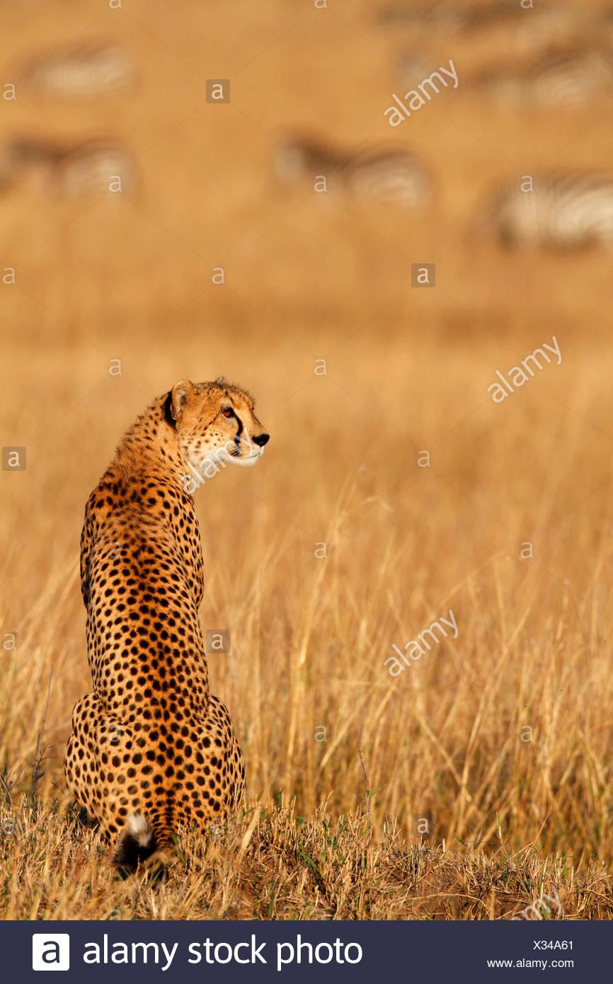 cheetah (Acinonyx jubatus), sits in savanna with grazing zebra herd in the background, Kenya, Masai Mara National Park - Stock Image
