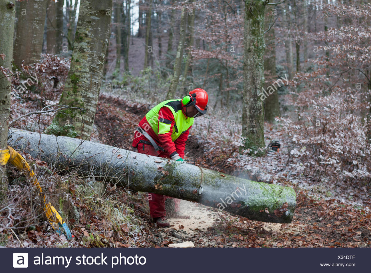 Logger sawing tree in forest - Stock Image