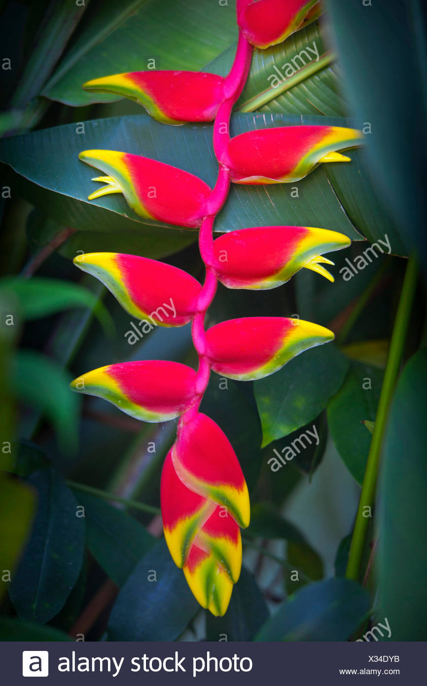 Heliconia rostrata, often known as Lobster claw, Bright red pendula clawlike flowers tipped with yellow and green,  surrounded by glossy green leaves, Photographed in Southern Vietnam. - Stock Image