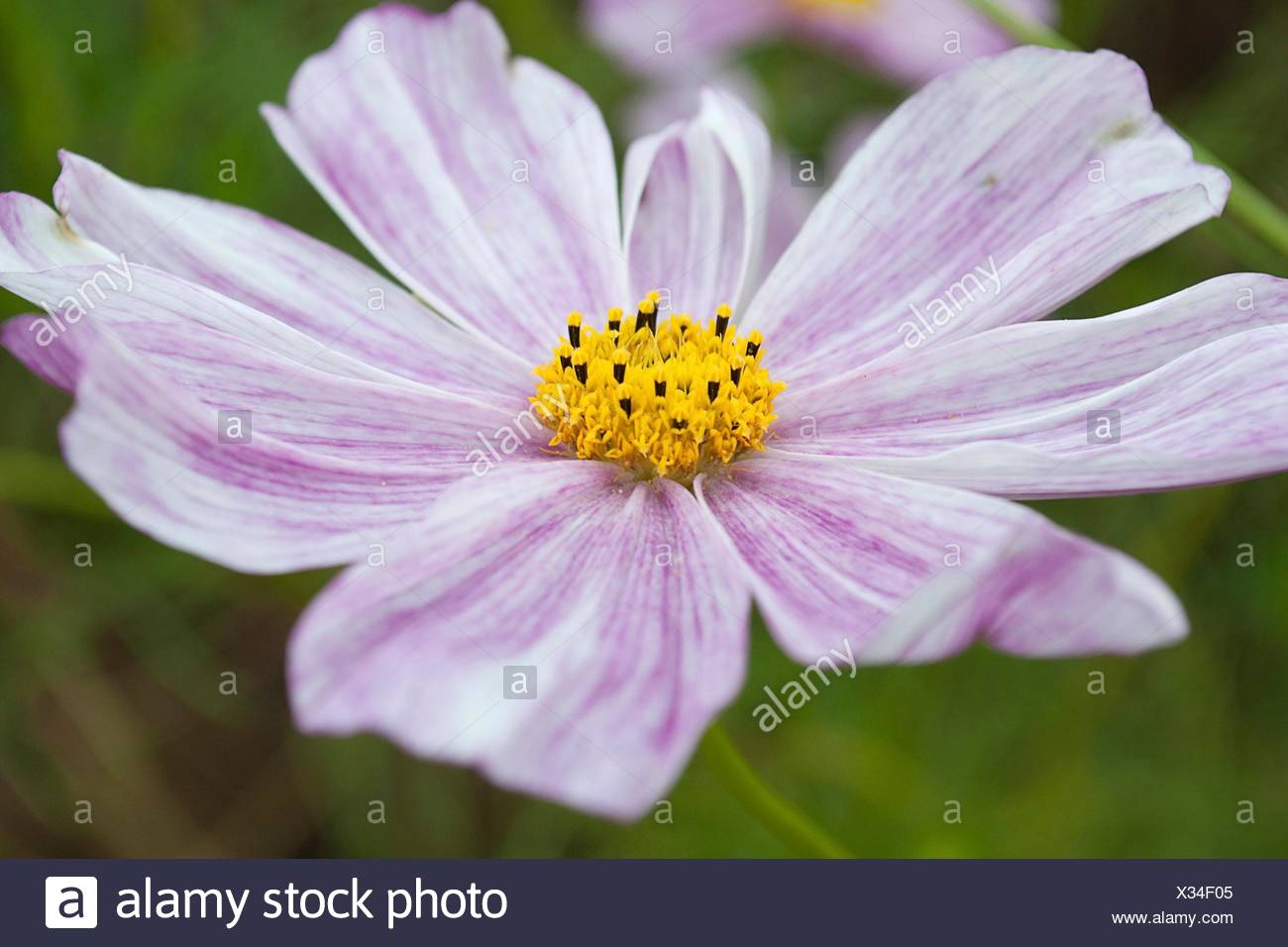 Cosmo cosmos flower stock photos cosmo cosmos flower stock images a pink and white streaked cosmo hybrid stock image mightylinksfo