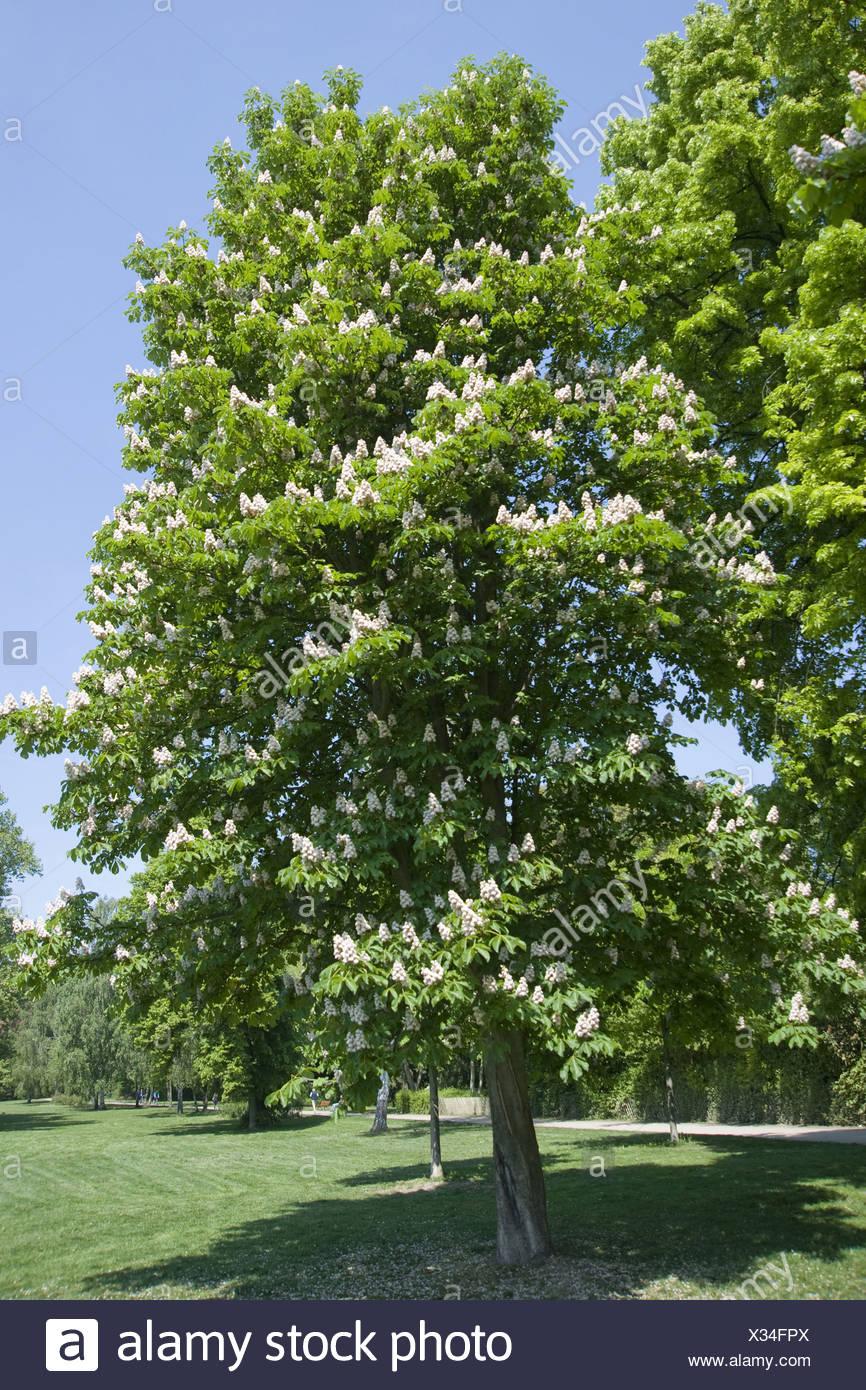 Horse-chestnut, Aesculus hippocastanum - Stock Image