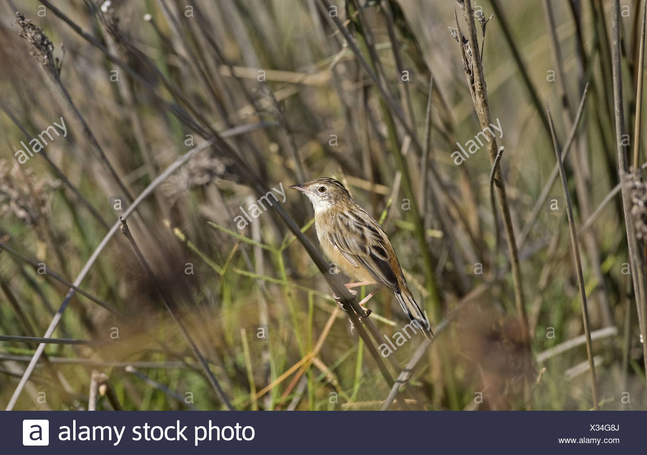 Fan-tailed Warbler (Cisticola juncidis) adult, perched on rush stem, Spain - Stock Image