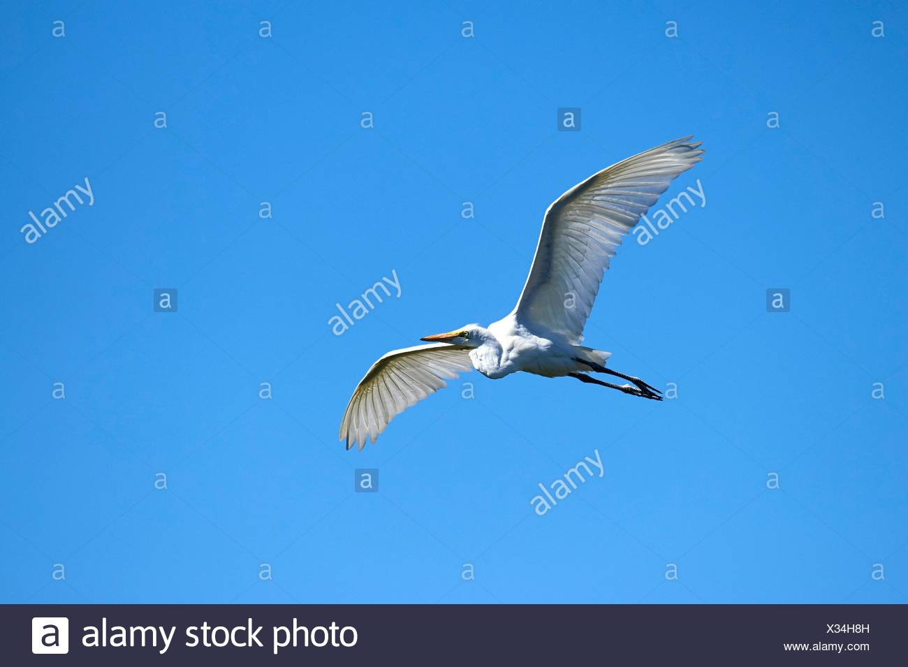 Great Egret flying (Ardea alba), Moremi National Park, Okavango Delta, Botswana, Southern Africa. - Stock Image