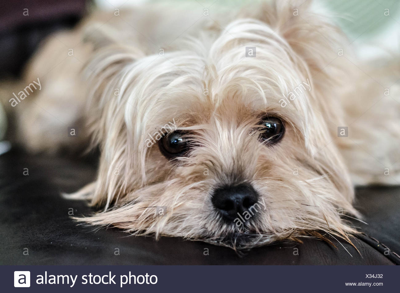 Portrait of a white yorkshire terrier dog lying on sofa - Stock Image