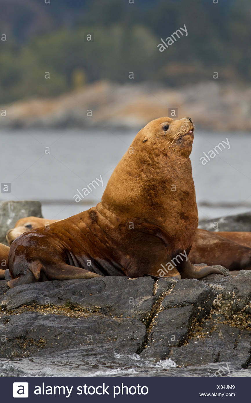 Stellar Sea Lion, Eumetopias jubatus, hauled out at Race Rocks, Near Victoria, British Columbia, Canada Stock Photo