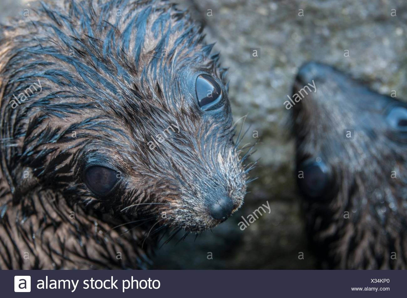 Overhead close up of Guadalupe fur seal pups ;looking up at camera, Guadalupe Island, Baja California, Mexico - Stock Image
