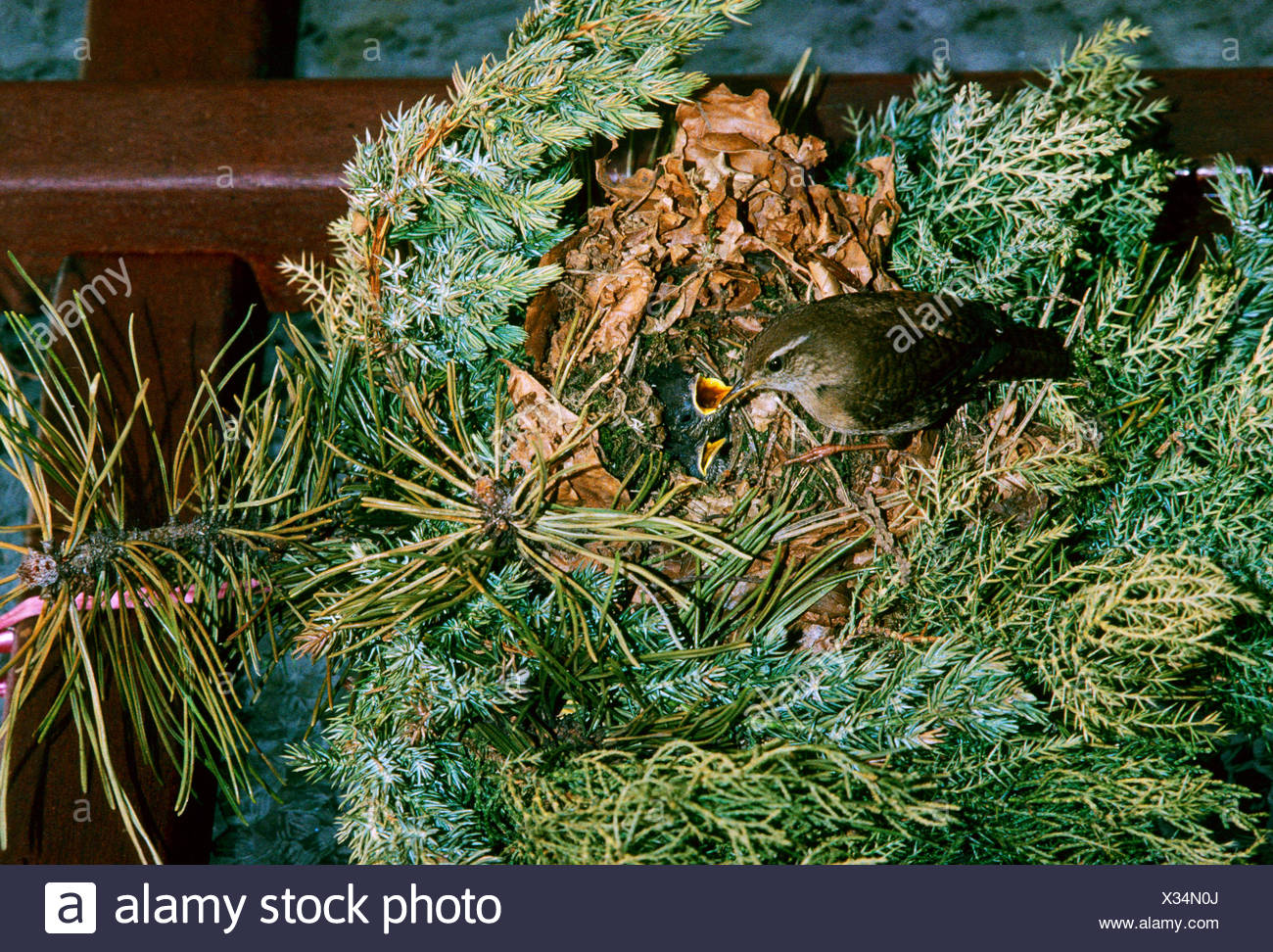 winter wren (Troglodytes troglodytes), birds nest  in door wreath, Germany - Stock Image