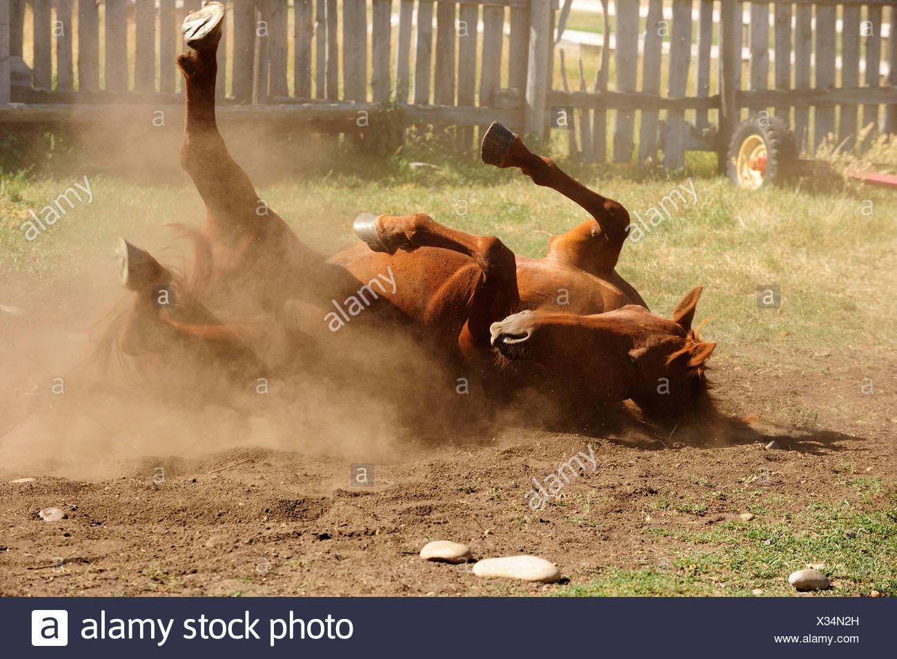 Horse wallowing on the ground in a paddock and whirling up dust in the prairie, Saskatchewan Province, Canada - Stock Image