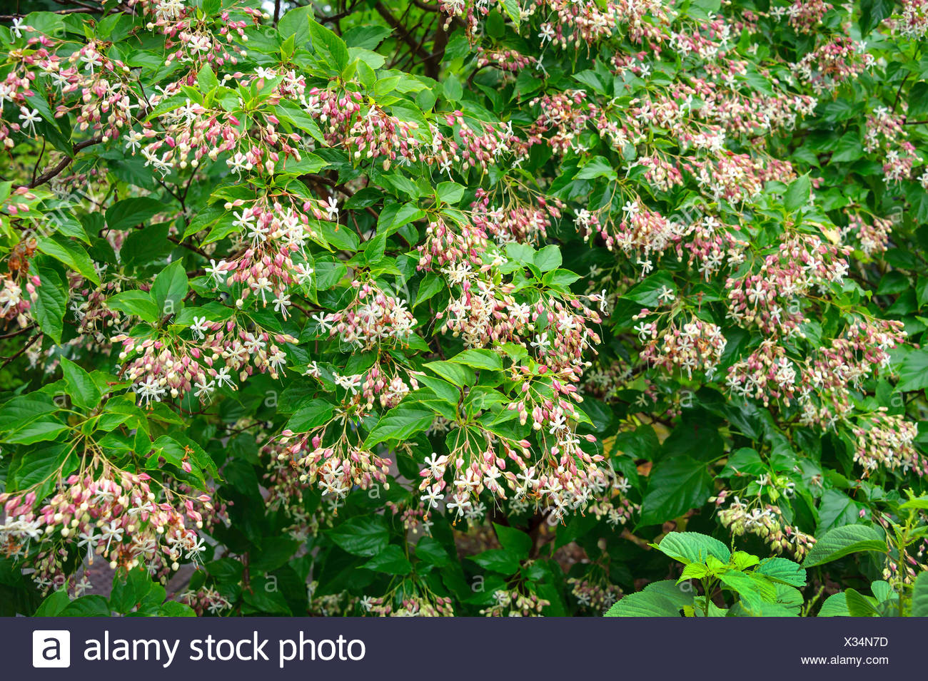 Glory tree, Harlequin glory, Japanese Glory Tree (Clerodendrum trichotomum), blooming - Stock Image