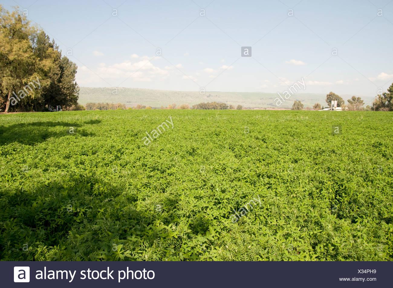 Israel Hula Valley Kibbutz Hulata An endless field of Alfalfa Medicago sativa - Stock Image