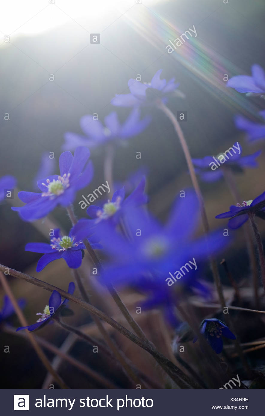 Scandinavia, Sweden, Vastkusten, Bjorko, Liverwort flowers, close-up - Stock Image