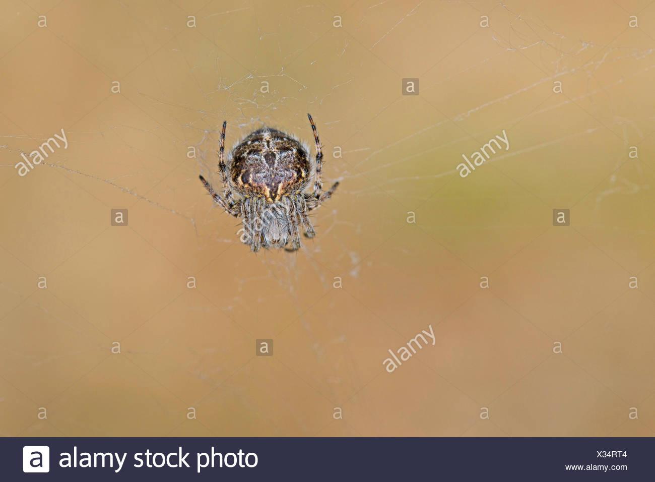 bush orbweaver, basketweaver (Araneus redii, Agalenatea redii), in its web, Germany - Stock Image