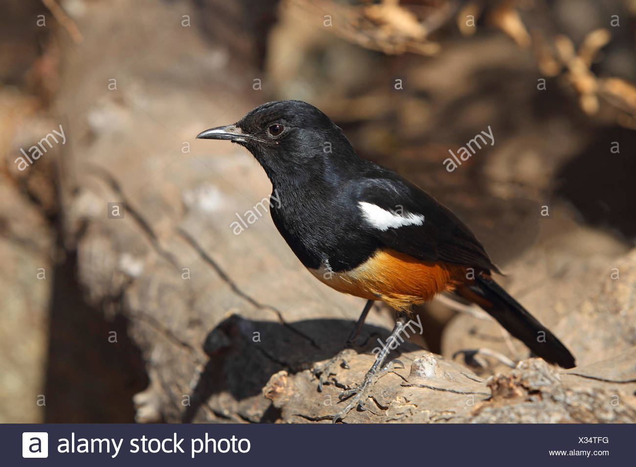 mocking cliffchat (Myrmecocichla cinnamomeiventris), male sits on a stem, South Africa, Pilanesberg National Park - Stock Image