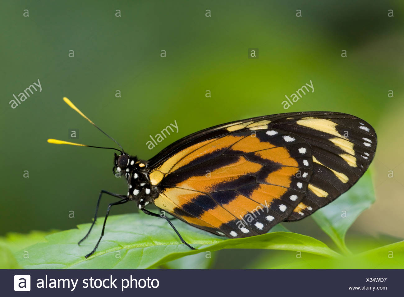 Tiger Mimic-Queen butterfly (Lycorea Cleobaea) perching on a leaf - Stock Image