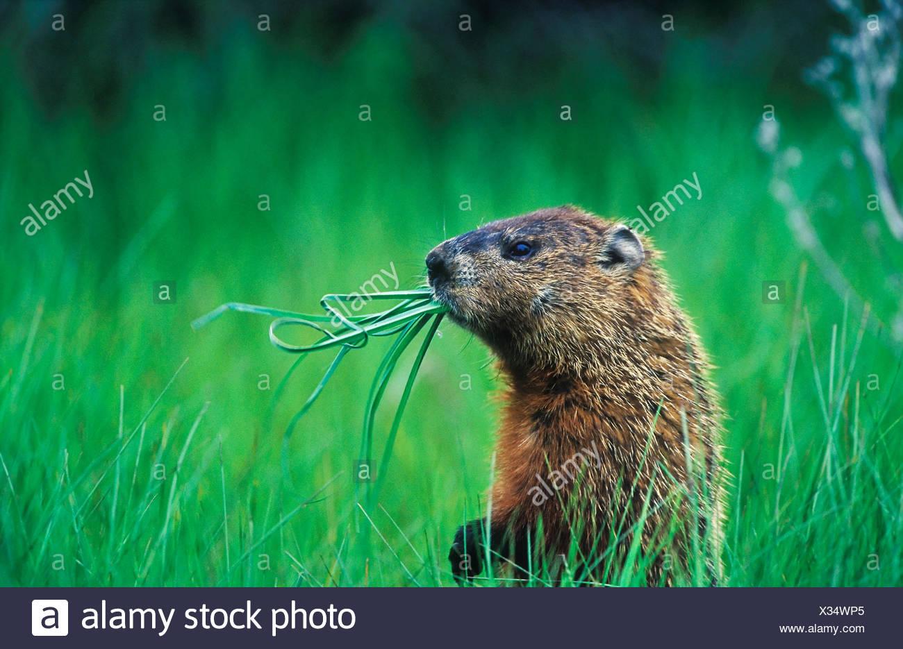 Woodchuck (Groundhog) (Marmota monax) chewing on grass while it looks around Prince Edward Point National Wildlife Area Ontario - Stock Image