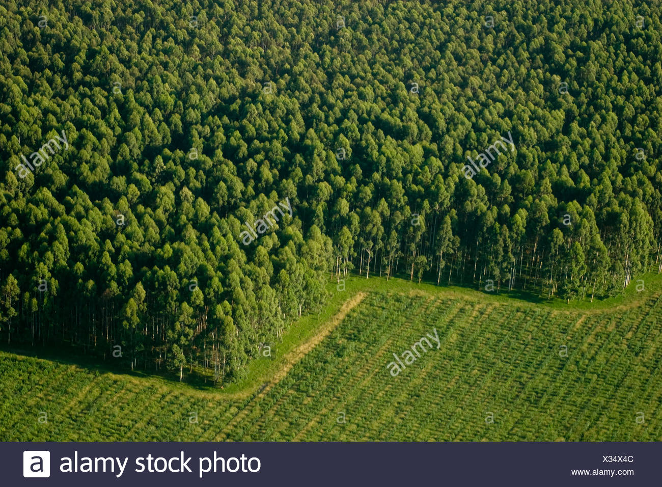 Aerial View Of Eucalyptus Trees At A Commercial Tree Farm Harvested Trees Are Exported As Logs Or Chips For The Paper Industry Stock Photo Alamy
