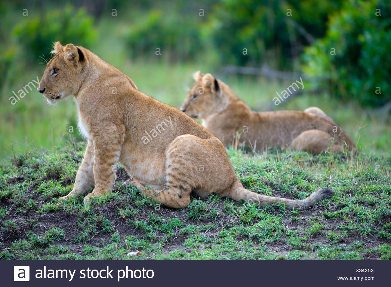 Lions (Panthera leo), cubs, Masai Mara National Reserve, Kenya, East Africa - Stock Image
